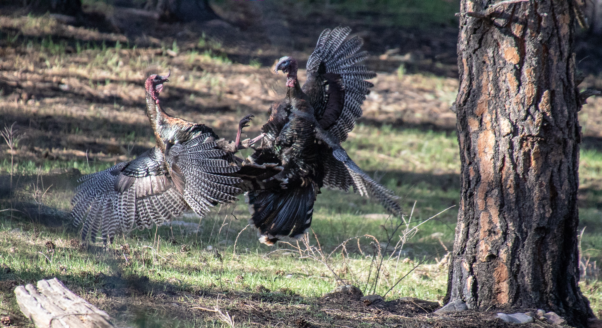 Turkey Fight
